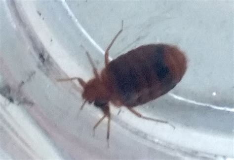 bed buggs bed bug picture pictures photos