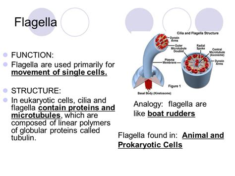 a protein is a linear polymer composed of cell structure organelles ppt