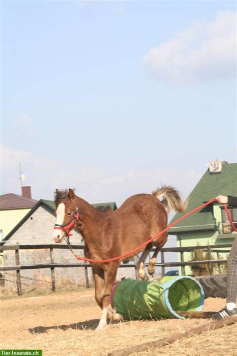 Section B Pony For Sale by Pony Section B Colt For Sale Tierinserat 150166