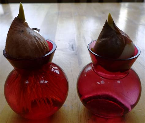 Tulip Bulbs In A Vase by Welcome Hyacinth Vases