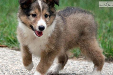 free sheltie puppies shetland sheepdog sheltie puppy for sale near grand rapids michigan 1020fa1e d271