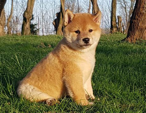 where to buy a shiba inu puppy find puppy shiba inu photo