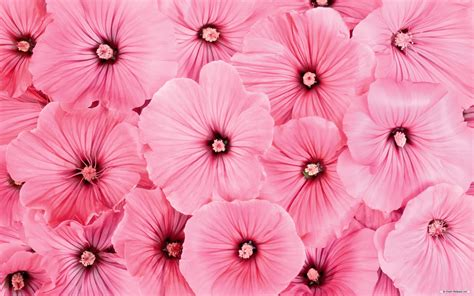 wallpaper flower high resolution pink flowers wallpaper high resolution 4737 wallpaper