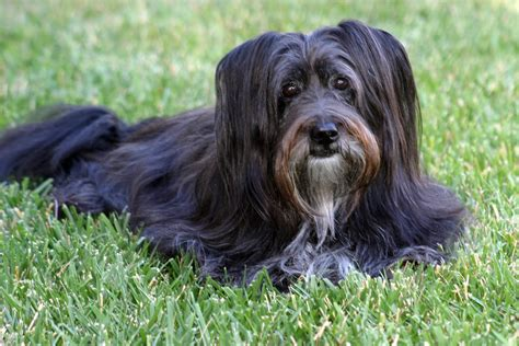 haired dogs black haired breeds best black hair 2017