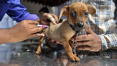 when should puppies get rabies rabies in dogs symptoms causes prevention dogtime