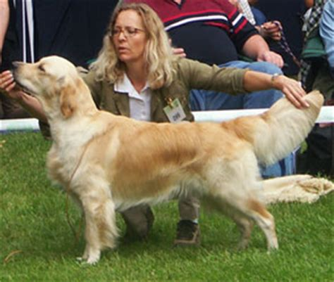golden retriever purpose golden retriever die dual purpose linie photo