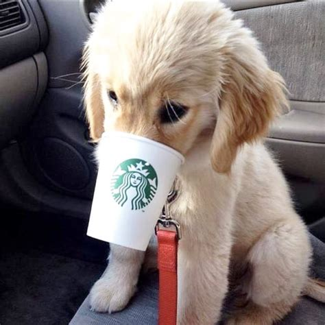 starbucks puppy drink drink coffee starbucks on instagram