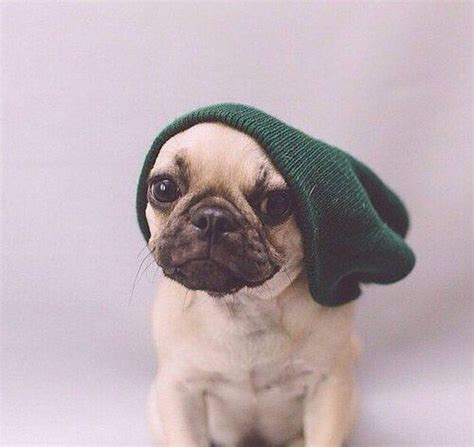 pugs lifestyle pug puppys and beanie