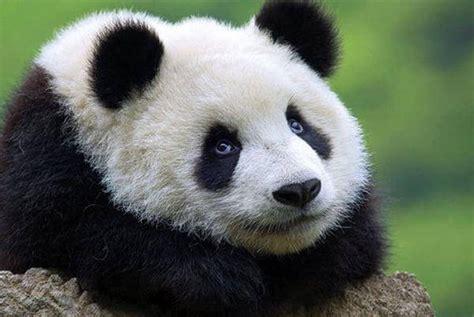 fotos de grupo panda a los pandas no se les puede decir no historias de china