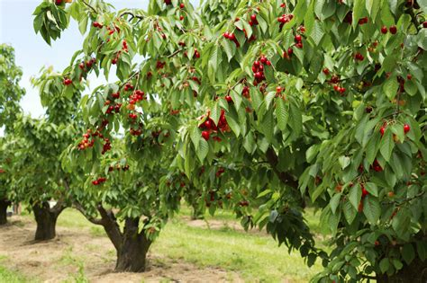 type of tree cherry tree types what are some common varieties of