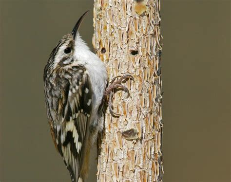 brown creeper all kinds of creatures pinterest