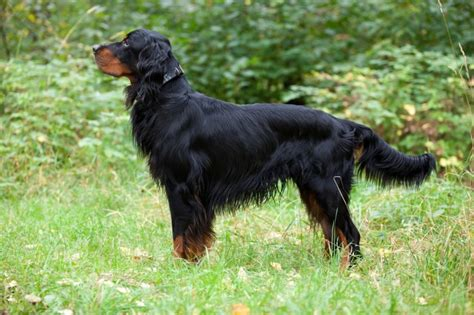 setter dog traits gordon setter dog breed information buying advice photos