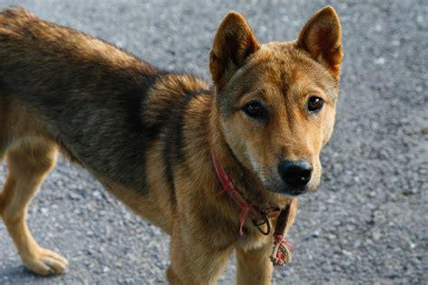 jindo dogs for frifotos the noble korean jindo traveling tomboy