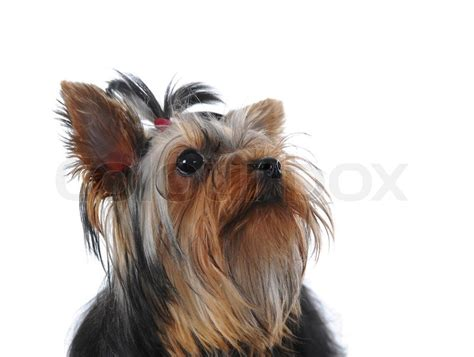 white mini yorkie image of a miniature terrier at the table isolated on white background