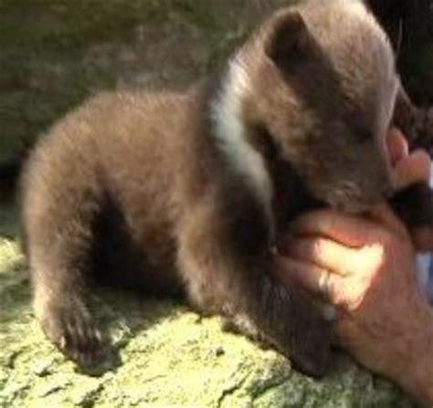 rare syrian bear cubs born  south carolina baby animal zoo