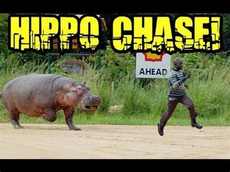 youtube video of hippo chasing boat hippopotamus chasing man youtube