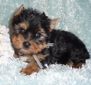 yorkie puppies for sale in rapid city sd best 25 yorkie puppies for adoption ideas on