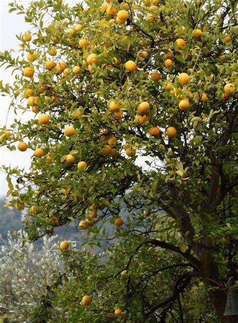 meyer lemon tree the crabby cook meyer lemonade