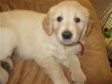 block golden retriever puppies golden retriever puppies in california
