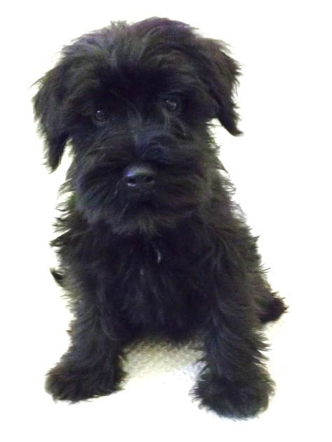 black miniature schnauzer puppies kc reg mini schnauzer puppy ready now peterborough cambridgeshire pets4homes