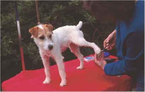 haircut ideas for long hair jack russell dogs haircut ideas for long hair jack russell dogs long