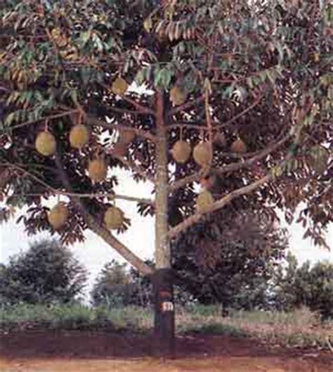 Bibit Durian Udang Merah bibit pohon duriah tukang taman