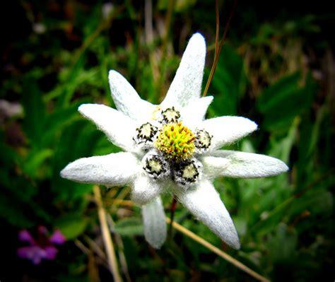 la stella alpina fiore stella alpina flickr photo