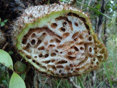 Obat Herbal Sarang Semut Papua cara mengobati kanker serviks kanker leher rahim secara