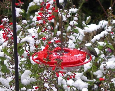 hummingbirds in winter feederwatch