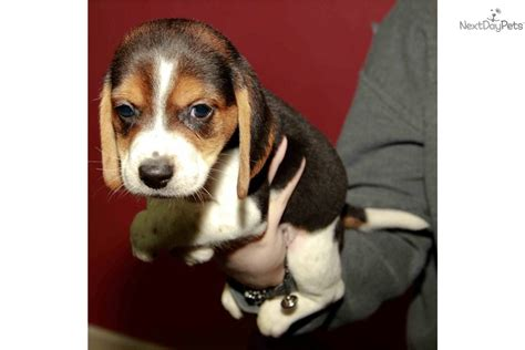 puppies for sale in peoria il beagle puppy for sale near peoria illinois f2d1b057 b851