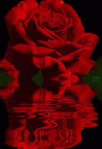 imagenes de rosas sobre agua hermosas im 225 genes de rosas reflejadas en el agua