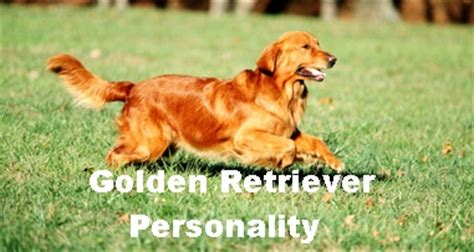 golden retriever character golden retriever character personality merry photo