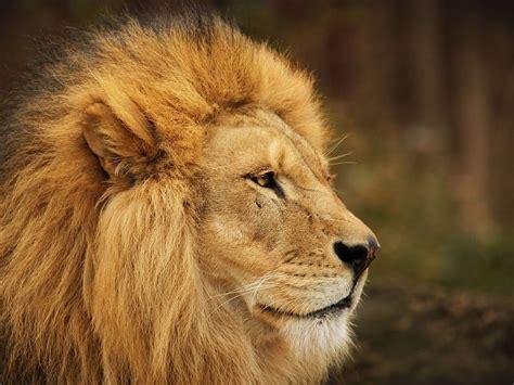 imagenes fondo de pantalla animales leones hd fondos animales fondos de pantalla gratis