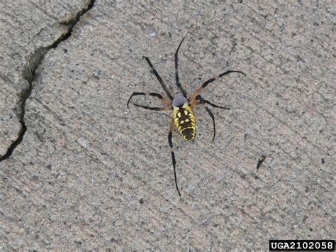 Garden Spider Yellow Yellow Garden Spider Argiope Aurantia Araneae Araneidae