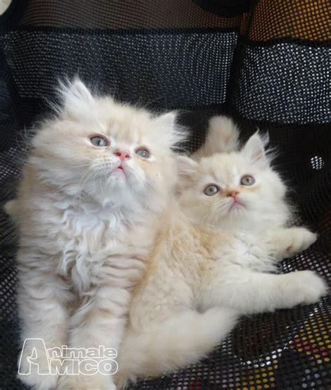 cuccioli persiani disponibili vendita cucciolo persiano da privato a genova gatti