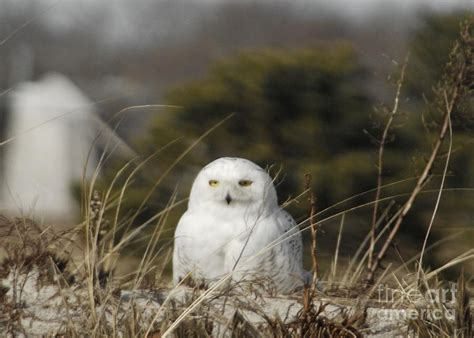 owls on cape cod snowy owl on cape cod photograph by amazing jules