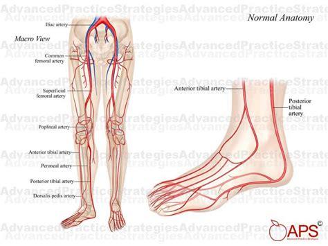 Peripheral Artery Anatomy