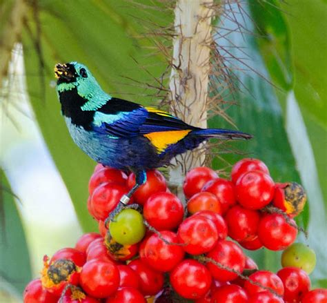 colored tanager seven colored tanager