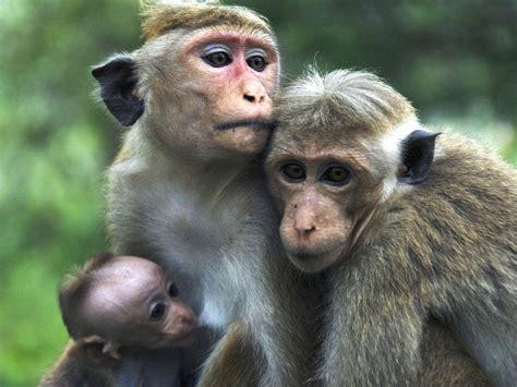 alimentazione scimmie zoo virtuale perch 233 le scimmie non parlano come noi