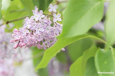 der duftende garten stellung flieder syringa fliederbaum fliederbusch pflege und