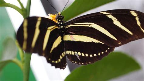 black wallpaper with yellow butterflies black and yellow butterfly wallpaper 26793