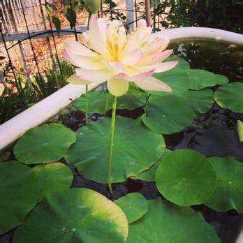 Lotus Garden Upland Ness Water Gardens Nurseries Gardening Upland