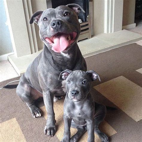 blue staffy 25 best ideas about blue staffy on blue staffy pups blue staffy