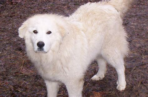 great pyrenees puppy lovely great pyrenees photo and wallpaper beautiful lovely great pyrenees
