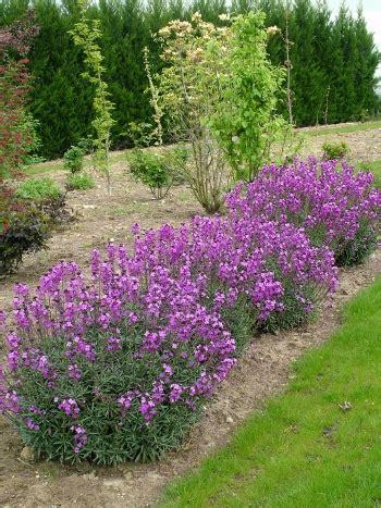Arbuste De Haie 1207 by Cheiranthus Linifolium Bowles Purple Plantes Vivaces