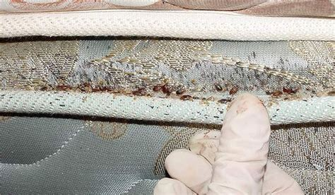 check for bed bugs hotels how to check for bedbugs stuff co nz