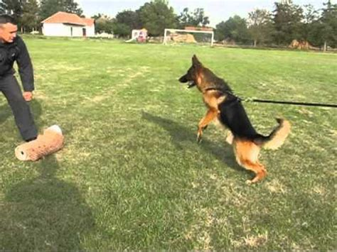 how to a german shepherd to attack german shepherd protection dogs bite work and attack tayson