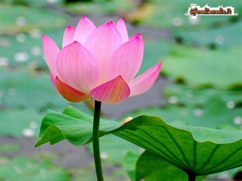sfondi fiore sfondilandia it sfondo gratis di fiore di loto per