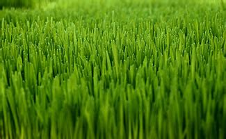 Course On Lawns What You Should by Chip Does Grass Type Matter In Golf Golfstinks