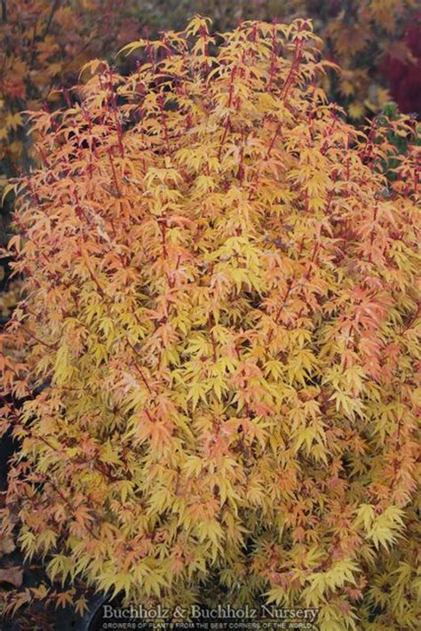 trees colors and acer palmatum on